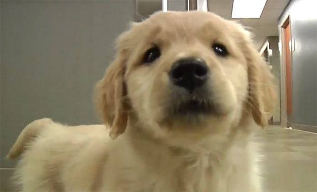 The Sterling, Illinois, police department has one cute new recruit: Brinkley, a 2-month-old puppy who will serve the community as a comfort dog.