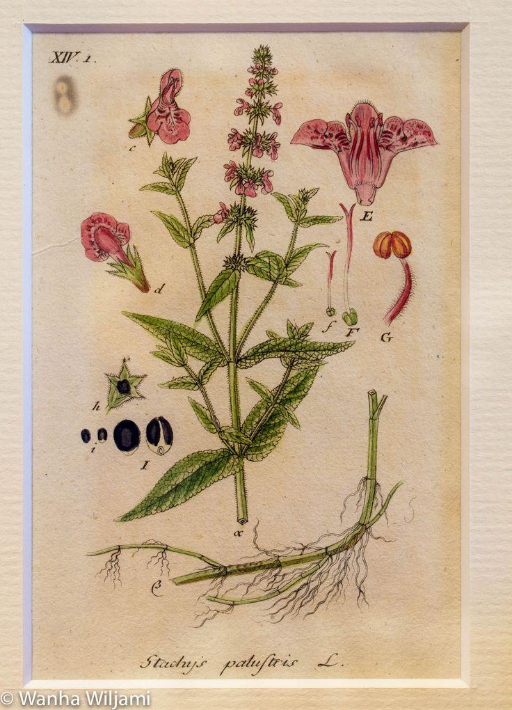 Kuvassa kasvi Peltopähkämö.  Alkuperäinen gravyyri vuodelta 1804. Käsinväritetty.  Kuvat ovat kirjasta: Deutschlands Flora in Abbildungen Nach der Natur.  Jacob Sturm, Nuremberg