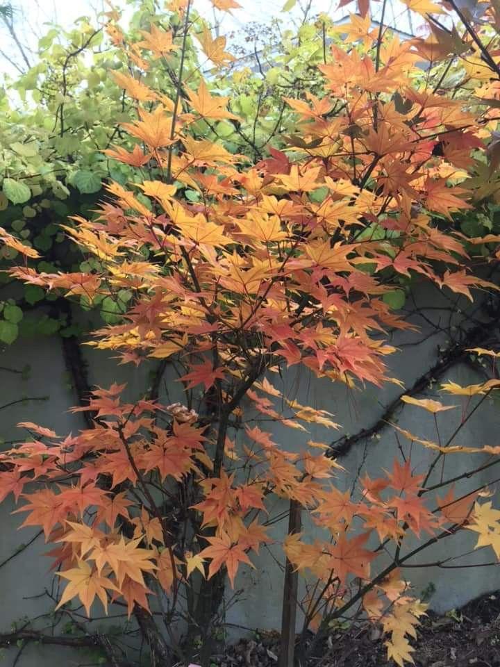Hogyoku Japanese Maple Fall Color Japanese Maples Japanese