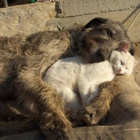 Irish wolfhound asleep cuddling a sleeping white cat