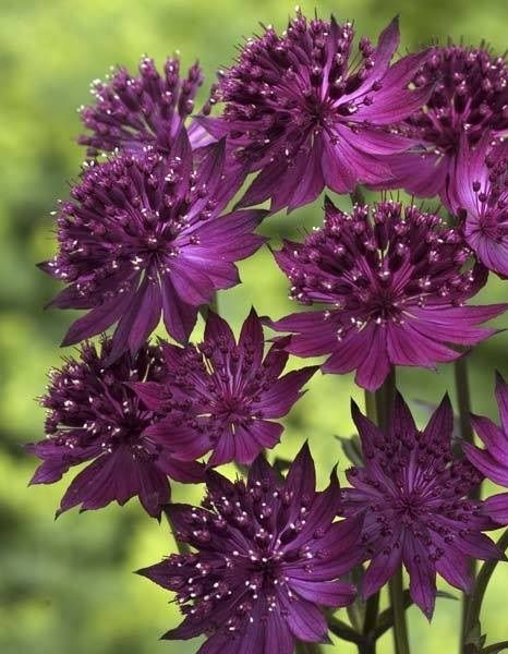 Astrantia sp. (Família Apiaceae/Umbelliferae) By Sociedad Argentina de Horticultura
