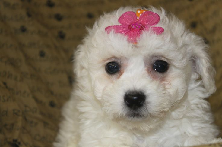 Bichon puppy for sale - Here is a very nice Bichon Frise puppy for sale at http://www.network34.com/dogsbreed/bichon-frise-puppies-for-sale-pa-md-ny-nj-dc/