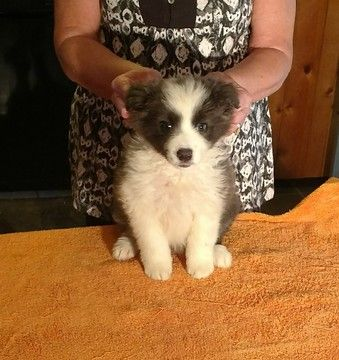 Litter of 5 Border Collie puppies for sale in MEADOWVIEW, VA. ADN-35170 on PuppyFinder.com Gender: Female. Age: 10 Weeks Old