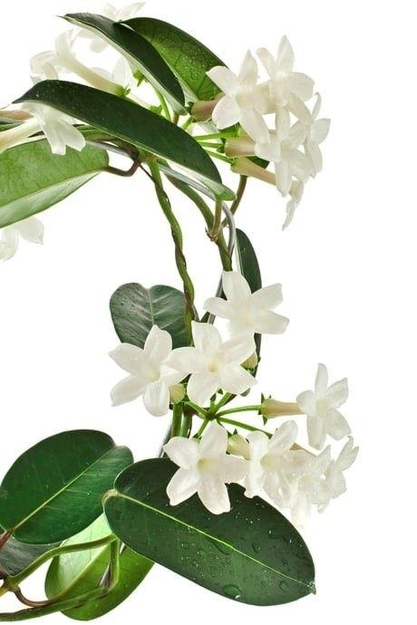 Plante grimpante d'interieur   Plante grimpante, Belles fleurs, Photo fleurs