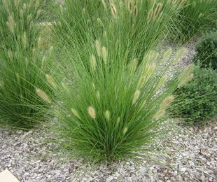Non-Invasive Ornamental Grasses | ... is a compact drought tolerant native grass | Ornamental Native Grass