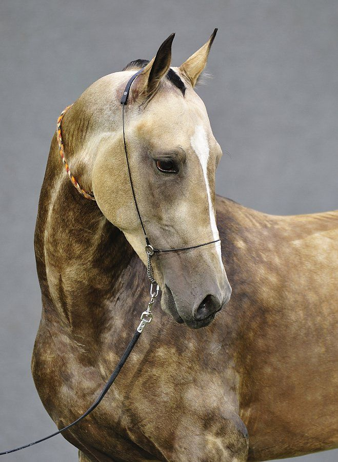 Akhal Teke- oh my that is on my bucket list. Just need a farm and a few other things lol