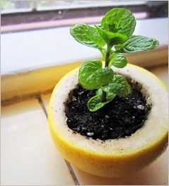 Did you know you could grow fruit seedlings in a lemon peel? Four ways to reuse fruit rinds.