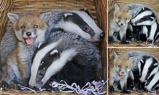 Abandoned baby fox Phoebe and orphaned BADGERS become of best friends