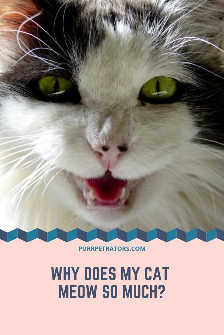 Cats Meow As A Means Of Interacting With Us Telling Us They Want Something Or Getting Our Attention In This Article We Will Be Taking A Cats Meows Cats Meow