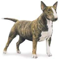 The Miniature Bull Terrier is in every way - except size - exactly like the Bull Terrier. Bull Terriers were first meant to be rough, tough ...