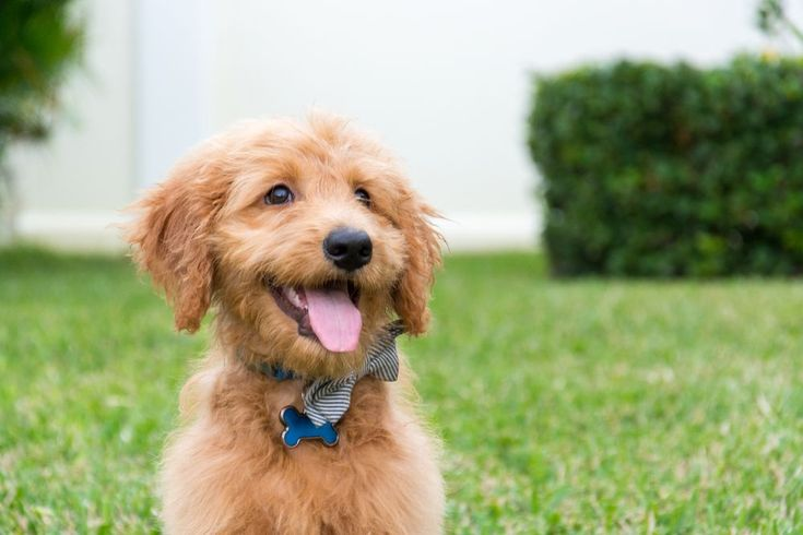 best food for goldendoodle with allergies