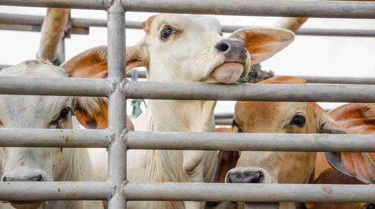 An die EU: Kein Freihandel für Billig-Fleisch aus Südamerika