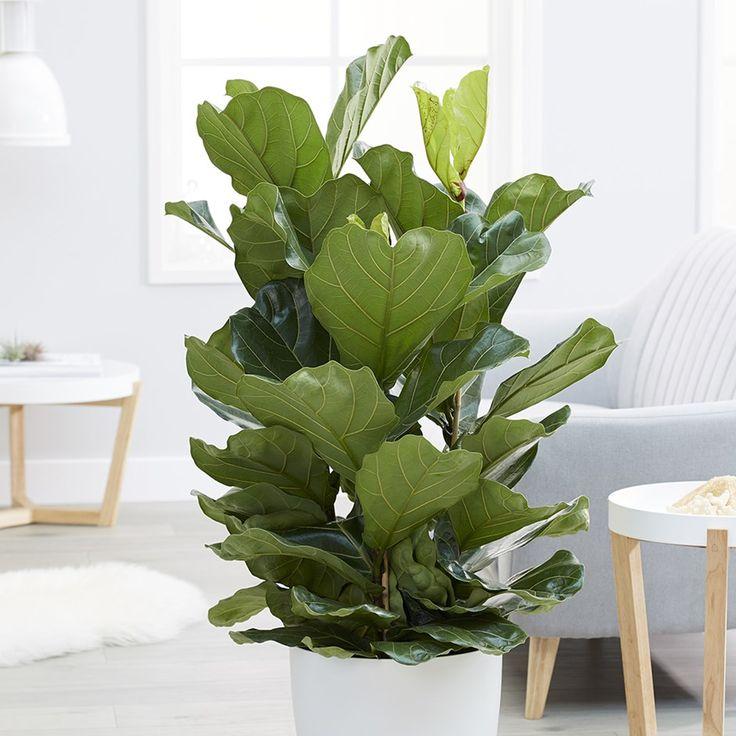 Ficus lyrata fiddle leaf fig Plantas para decorar
