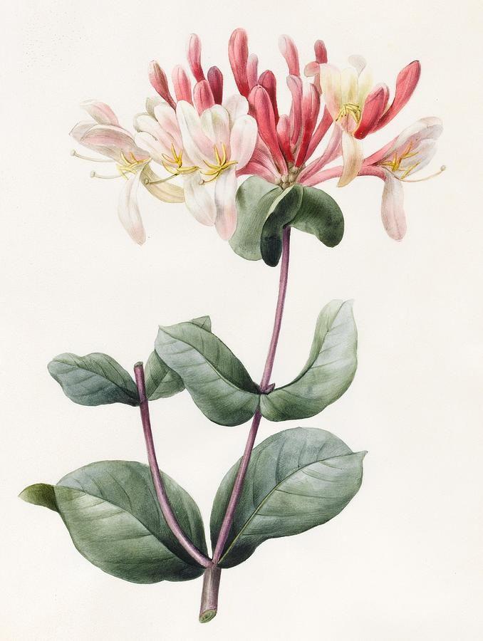 Lonicera Periclymenum (Honeysuckle) 1830 (watercolor & gouache on vellum), D'Orleans, Louise (1812-52)