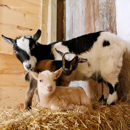 What to Feed Your Goats - The most comprehensive guide you'll find! #babygoatfarm