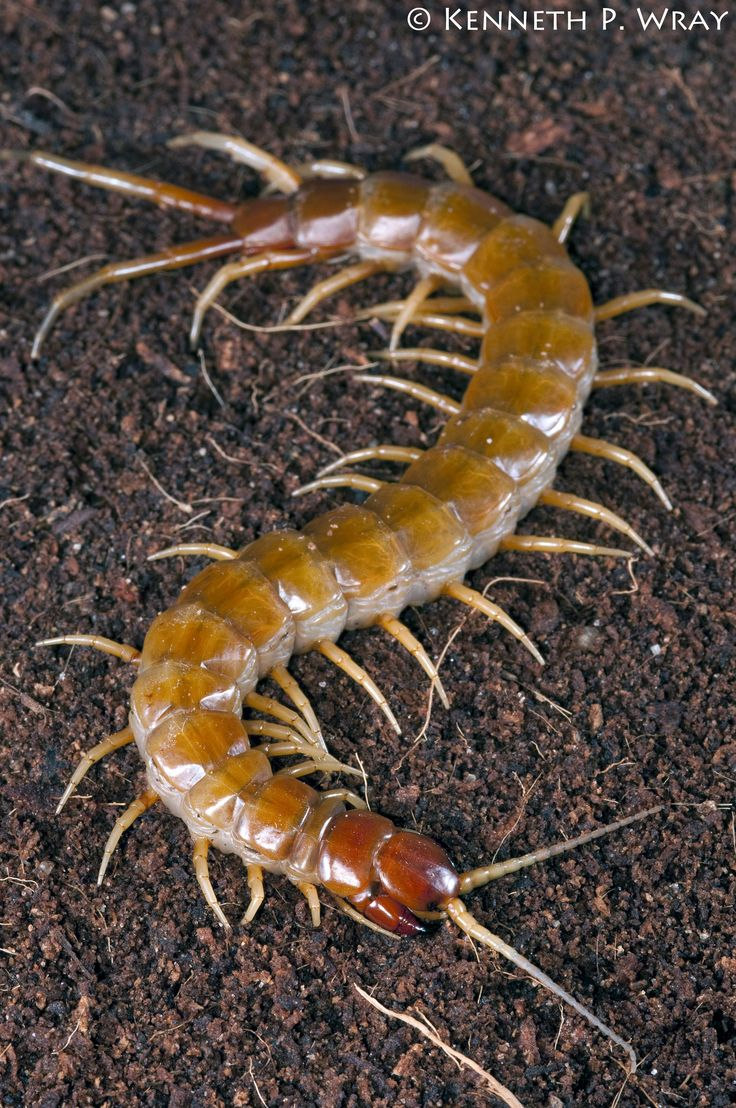 17 best images about scolopendra on pinterest museums animals and cherries. Black Bedroom Furniture Sets. Home Design Ideas