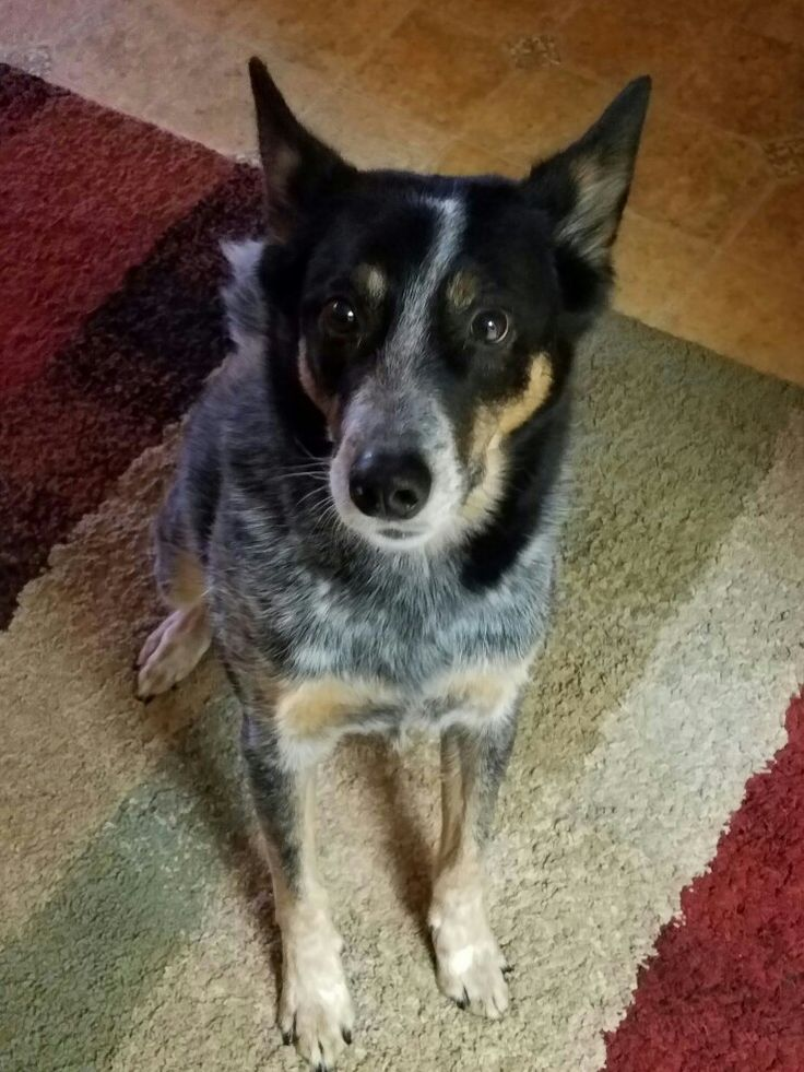 Blue Heeler Puppy Shows Off Lots of Tricks - YouTube