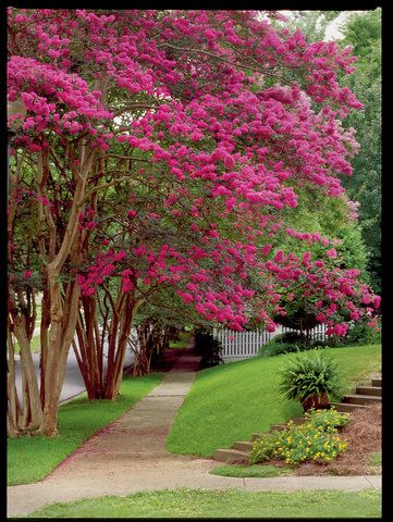 Beginner's Guide to Crepe Myrtle Care
