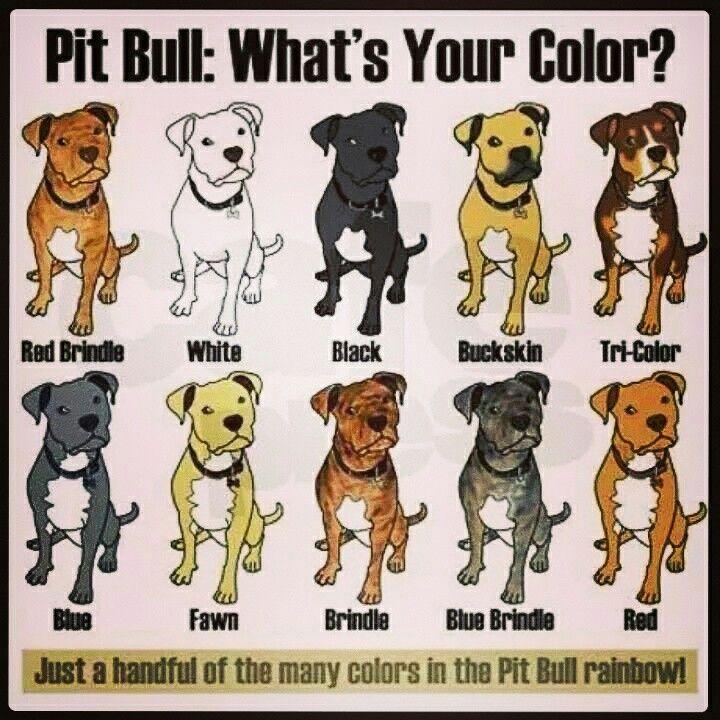Tri Color Pitbull Puppies Pitbull Terrier American Pitbull Terrier