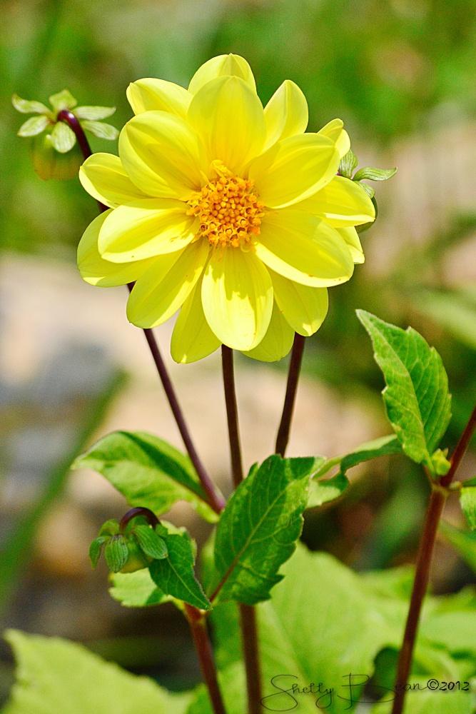 yellow dahlia flower - photo #28