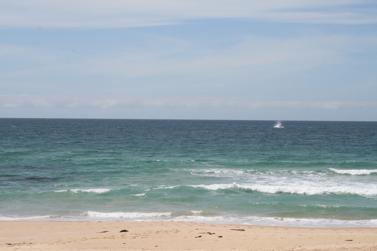 Whales off Mollymook Beach October 2012