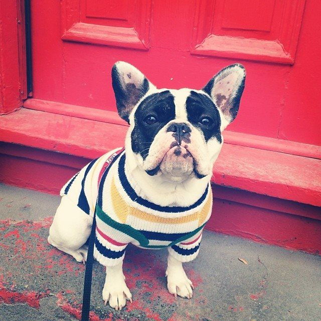 frenchie strollin' in stripes | #StripeSpotting | Shop our collection here » http://www.thebay.com/webapp/wcs/stores/servlet/en/thebay/search/hbc-/hbc-collection