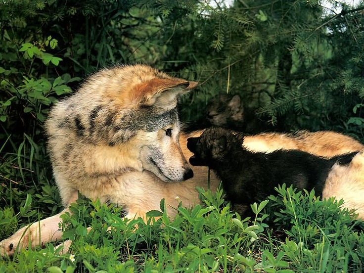 on All About Wolves  http://www.all-about-wolves.com/wp-content/gallery/free-wolf-photos-and-wallpaper/wolf_82_big.jpg