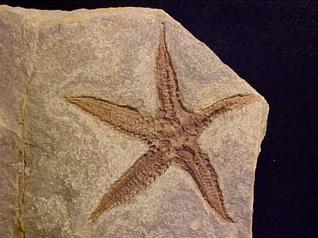 Seastar fossil from the famous Cozy Dell Formation, not too far inland in Ventura County California. The plate contains a complete specimen of Astropecten matilijaensi that is a rare occurence in the formation due to the starfishes fragile body.    Geological Time: Upper Eocene