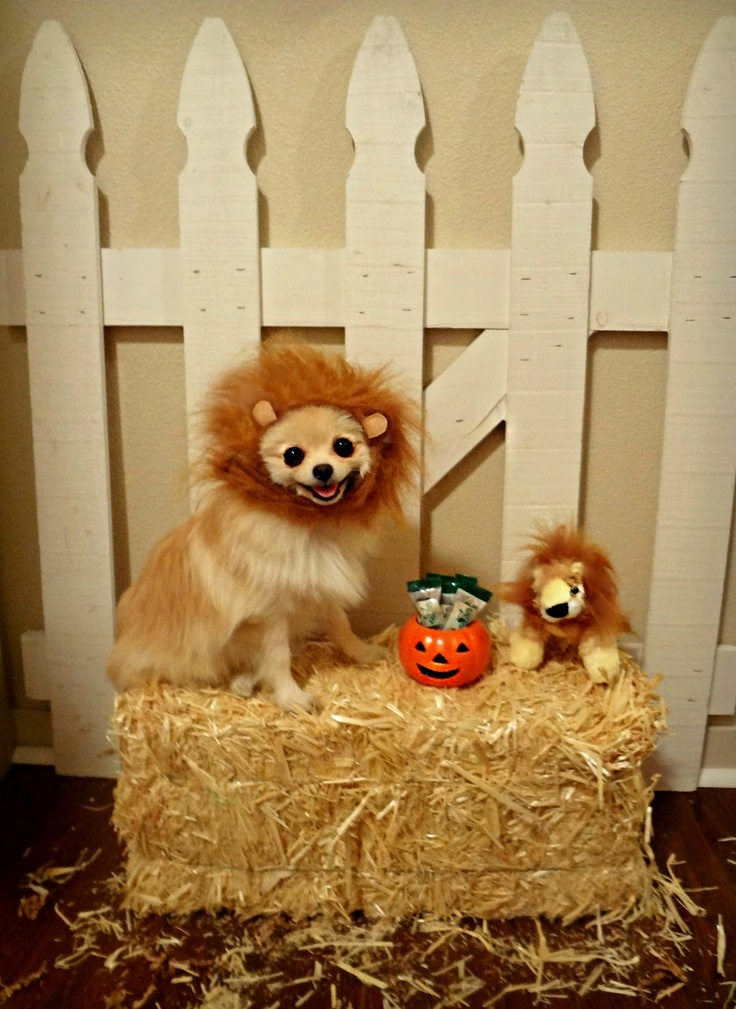 lion pomeranian 59 best images about pomeranian obsession on pinterest 1031