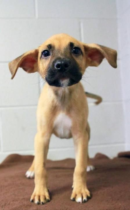 @Amanda Turner !Shelter puppy has adorable ears!  Him and his Siblings need a home, click the link if you're interested *Available in Hopkinsville, KY*
