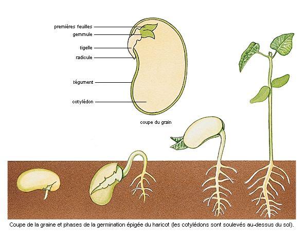 Explique les parties d'une graine et aussi un lexique anglais-francais