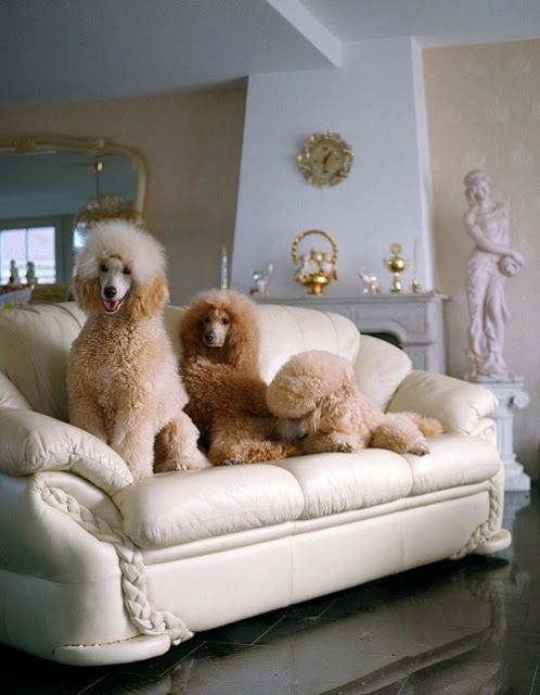 standard poodles/ I better not let Bear see how these poodles live!
