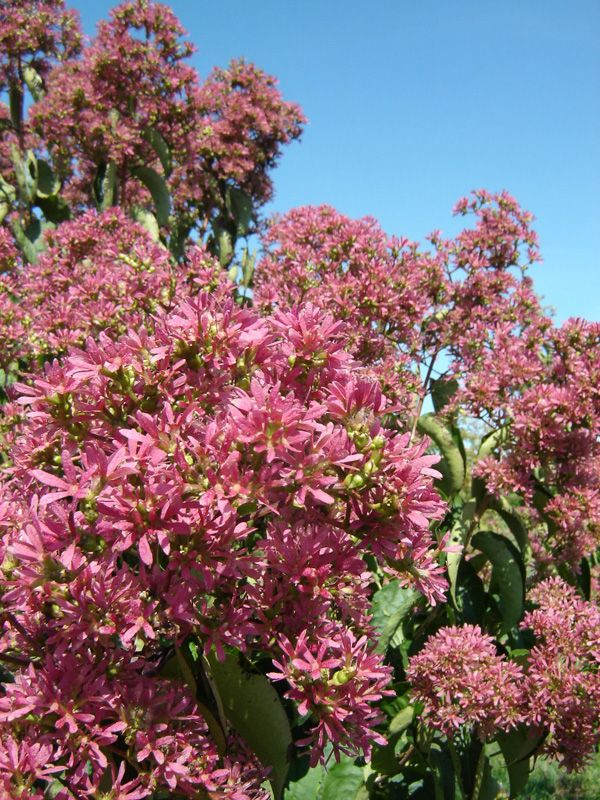 Ornamental trees scientific name heptacodium miconioides for Small flowering trees full sun