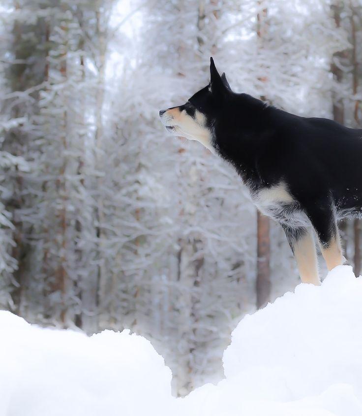 Lapponian Herder Räpsy. Lapinporokoira - ehta ja oikea suomalainen koira