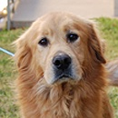 This is Vinnie approx 3-5 yrs. He gets along with other dogs & kids, not cats & is potty trained. Vinnie is a very active boy who needs plenty of daily exercise, structure, guidance and obedience class. He will counter surf & his foster is wroking with him on this issue. He is looking for a forever home and is at The Golden Retriever Rescue of North Texas.