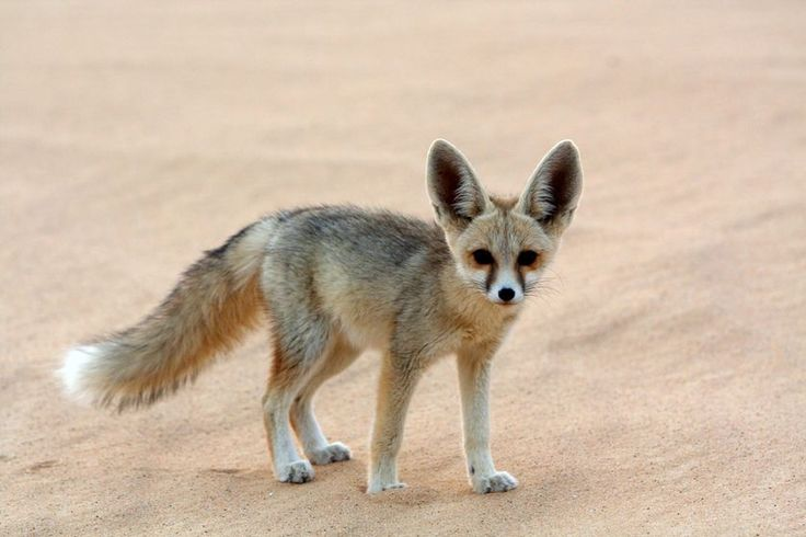 The fennec fox is uniquely built to thrive in the desert.