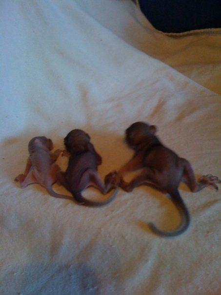 baby squirrels  1st at less than 1 week  pinkie   2nd at 2