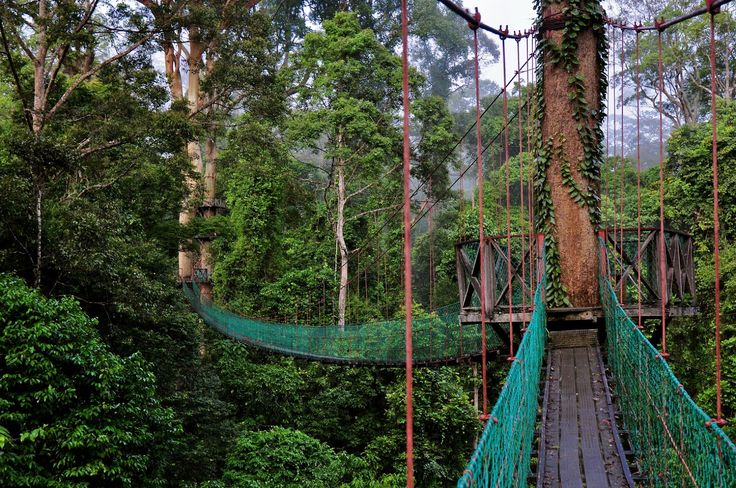 Rainforest Canopy Walkway is located in Danum Valley Conservation Area which is situated on the north coast of the island of Borneo (The part ruled by Malaysia). Description from pinterest.com. I searched for this on bing.com/images