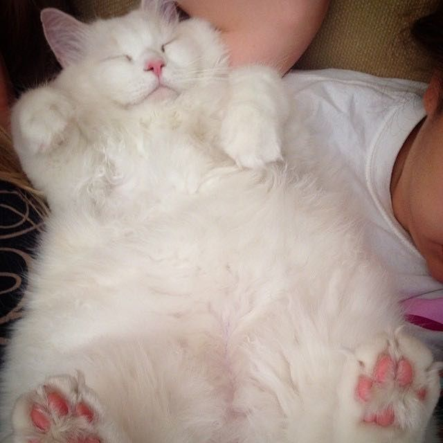 Best Cats Dogs Images On Pinterest Animals Funny Animals - Meet the ridiculously fluffy kitty thats more cloud than cat