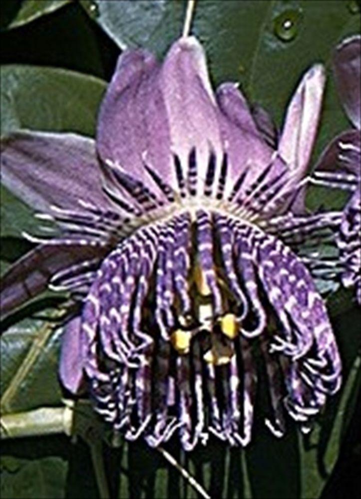 maypop passion flower florida