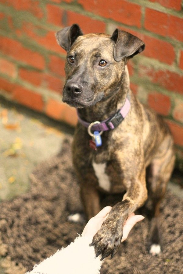 Lola - Staffy x Whippet | Mutts | Whippet, Whippet mix, Dogs