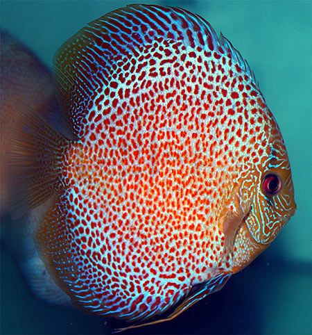 V Aquaria is dealer, wholesaler in local discus fish as well as ...