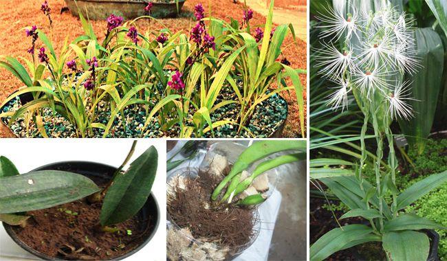 Posso plantar na terra? Pode só se a orquídea for terrestre — caso da orquídea-bambu (Arundina bambusifolia, que aparece na foto acima). O problema é que a