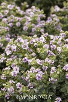 Monrovia's Gibby Hebe details and information. Learn more about Monrovia plants and best practices for best possible plant performance.