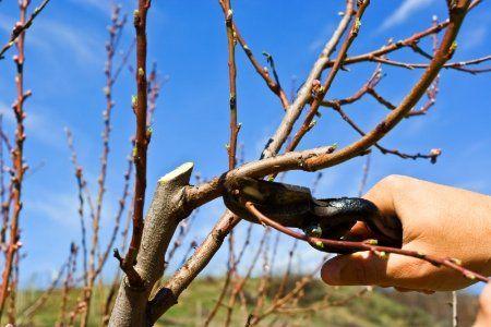 como podar arboles frutales