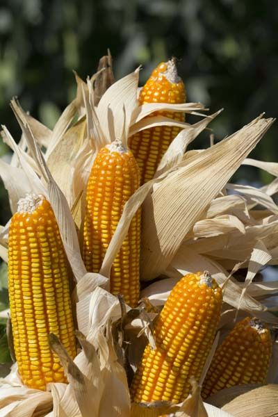 Carol Suhr's guide on preserving a crop of homestead corn, including how to dry corn, grinding corn meal, and recipes for cornmeal pancakes, dried corn pudding, and corn tamale pie.