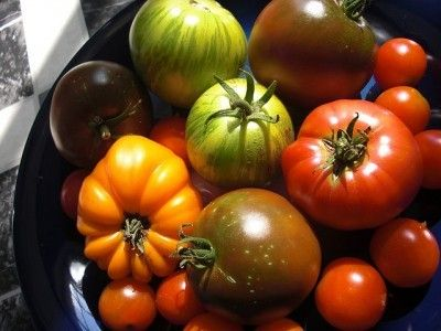 """Heirloom Tomato Plants: What Is An Heirloom Tomato -  Heirloom tomatoes have received a lot of attention. But this can leave some gardeners asking """"What is an heirloom tomato?"""" and """"What are the best heirloom tomato varieties?"""" Find out in this article."""