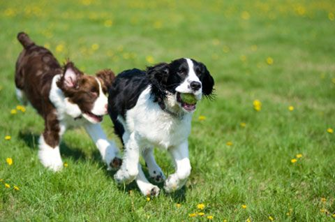 Treating the Tear: Petplan pet insurance looks at treatment options for cruciate ligament tearsBeach Parks, Parks Dogs, Petplan Pets, Dogs Area, Dogs Offleash,  English Springer Spaniels, Pets Insurance, Dogs Parks, Parks Etiquette