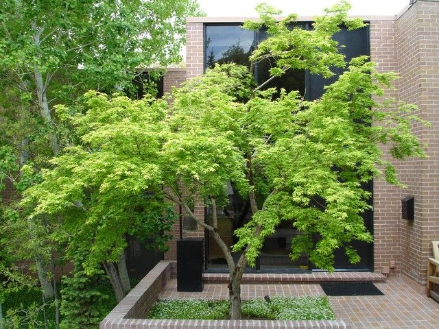 Japanese Maple In A Planter Box Available From Blerick