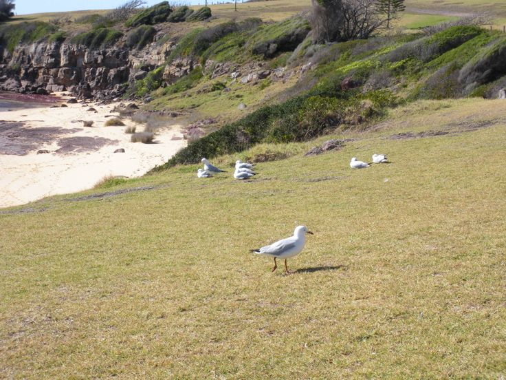 Larry the Seagull at Merimbula, NSW, Australia
